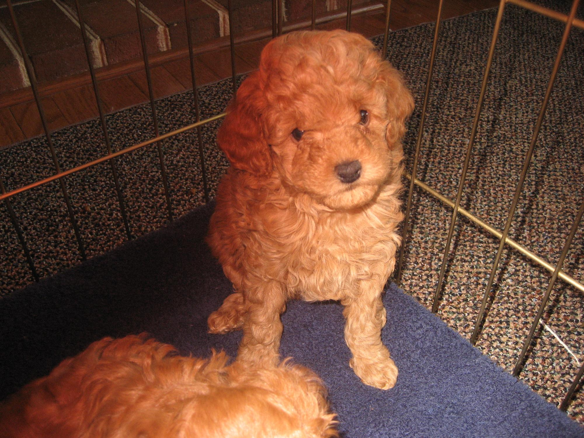 puppies_6_weeks_003.JPG