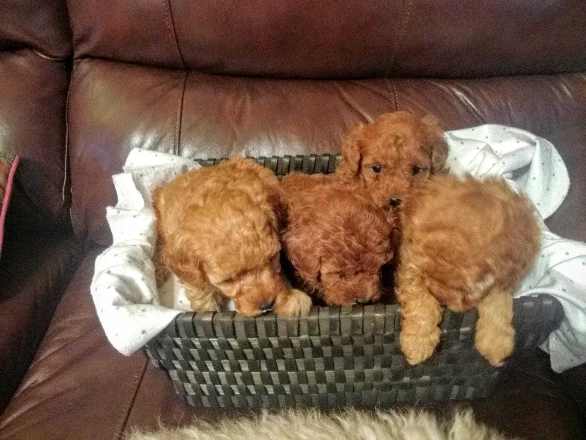 pups5weeks.jpg
