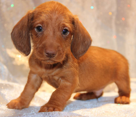 Black/tan Miniature Dachshund puppies for sale in CO, CA, AL, AK, AZ, AR, CA, CT, DE, FL, GA, ID, IL, IN, IA, KS, KY, LA, ME, MD, MA, MI, MN, MS, MO, MT, NE, NV, NH, NJ, NM, NY, NC, ND, OH, OK, OR, PA, RI, SC, SD, TN, TX, UT, VT, VA, WA, WV, WI, WY