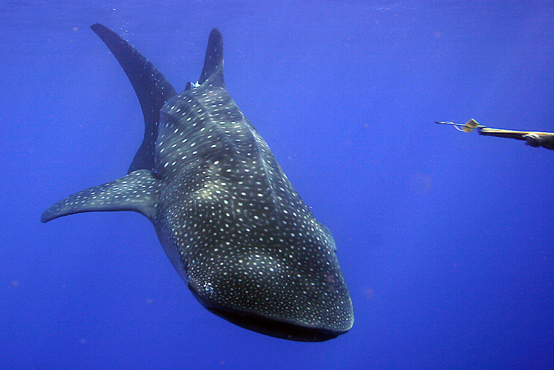 UTILA_LODGE_WHALE_SHARK.jpg